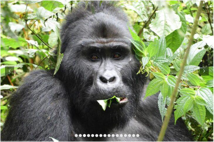 UGANDA - ON THE TRAIL OF THE MOUNTAIN GORILLAS 3